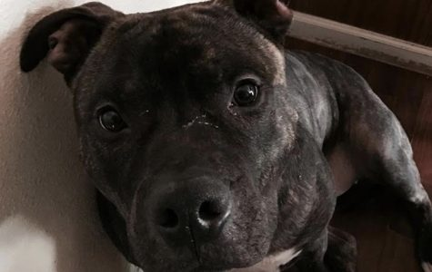 Pit bulls: The most hated, demonized breed in America